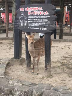 カメラ目線の鹿の写真・画像素材[3114673]