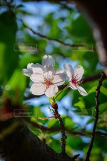 遅咲きの桜の写真・画像素材[3175623]