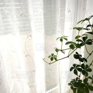 シュガーパインとカーテンの写真・画像素材[3331249]