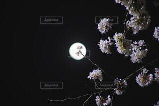 自然,風景,空,花,桜,夜,屋内,暗い,夜桜,月,草木