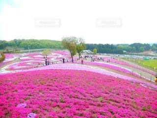 芝桜公園の写真・画像素材[3571779]