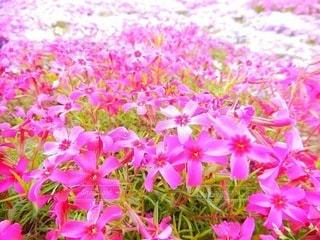 芝桜の写真・画像素材[3571784]