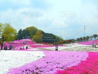 畑の紫色の花のグループの写真・画像素材[3571789]