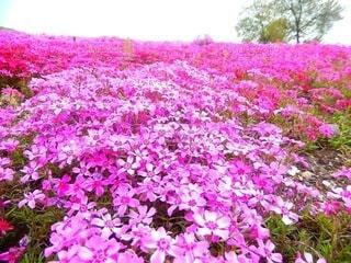 芝桜の写真・画像素材[3571794]