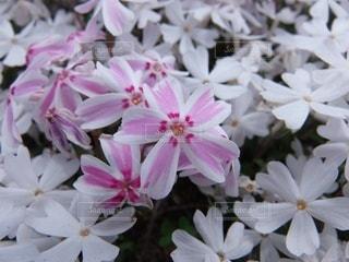 芝桜のクローズアップの写真・画像素材[3571797]