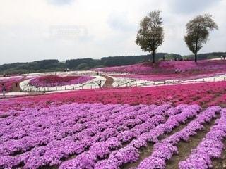 芝桜公園の写真・画像素材[3571811]