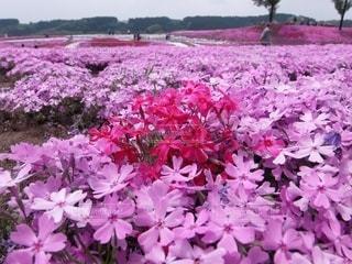 芝桜公園の写真・画像素材[3571802]