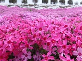 ピンクの芝桜の写真・画像素材[3571813]