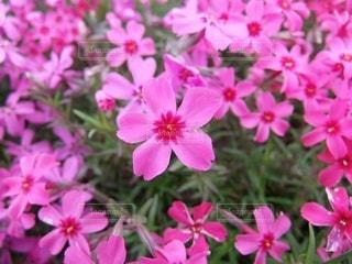芝桜のクローズアップの写真・画像素材[3571810]