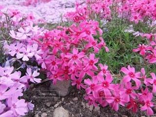 芝桜の写真・画像素材[3571815]