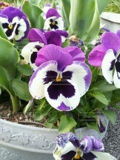 紫色のパンジーの写真・画像素材[3571801]