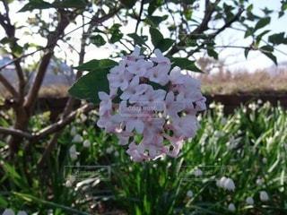 桜のクローズアップの写真・画像素材[3571817]