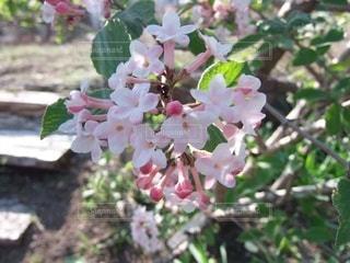 桜のクローズアップの写真・画像素材[3571821]