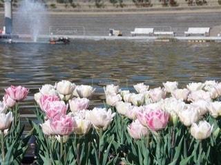 水にピンクの花の写真・画像素材[3571834]