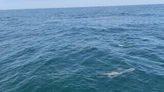海,空,屋外,イルカ,波,水面,アメリカ,泳ぐ,癒し,旅行,夏休み,クルーズ,海獣,クジラ,イルカの大群