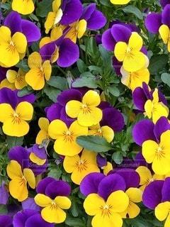 紫色の花の写真・画像素材[3131418]