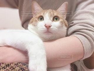 口を開けた白猫の写真・画像素材[3360440]