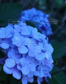 青い紫陽花の写真・画像素材[3454763]