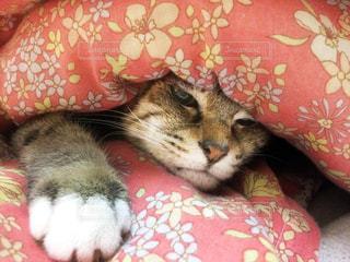 ベッドの中でくつろぐ猫の写真・画像素材[3140521]