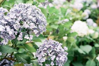 紫陽花のクローズアップの写真・画像素材[3386785]