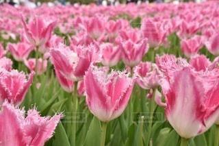 ピンクのチューリップ畑の写真・画像素材[3579378]