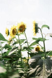 夏の向日葵の写真・画像素材[3579446]