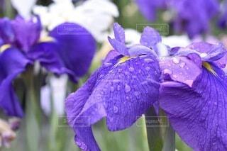 紫色の花のクローズアップの写真・画像素材[3618845]