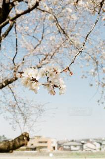 桜の咲く頃の写真・画像素材[4321763]