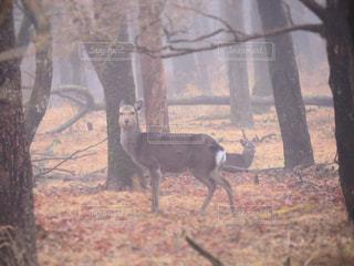 森林地帯に立っている鹿の写真・画像素材[3137445]