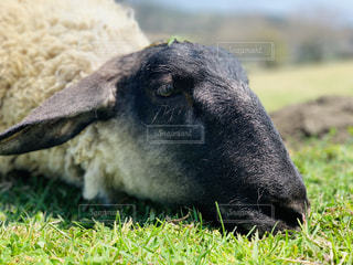 芝生で覆われた畑の上に立っている黒い羊の写真・画像素材[3137696]