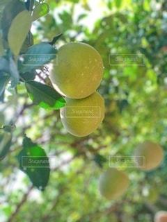 瑞々しい新緑の果実の写真・画像素材[3163063]