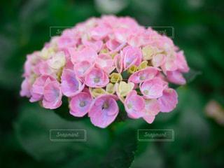 花,ピンク,山,景色,紫陽花,草木,アジサイ,ガーデン