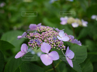 花,紫,山,景色,紫陽花,草木,アジサイ,ガーデン