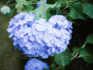 花,緑,葉,紫陽花,草木,アジサイ