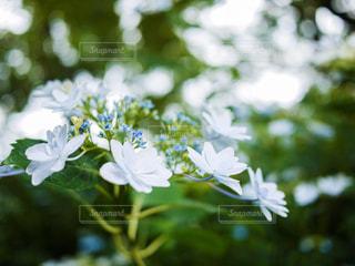 花,春,樹木,紫陽花,草木,アジサイ