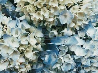 紫陽花の写真・画像素材[3377445]