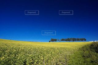 菜の花畑と白樺並木の写真・画像素材[3156979]