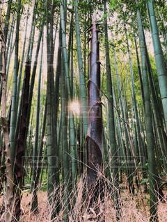 竹林の写真・画像素材[3157781]