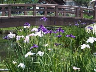 公園,花,橋,白,フラワー,グリーン,みどり,水郷,紫色,あやめ,アヤメ,佐原,アヤメ祭り