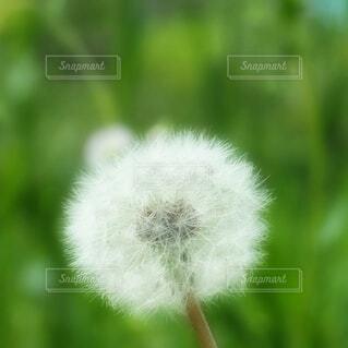 タンポポの綿毛の写真・画像素材[4252852]