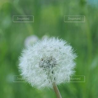 タンポポの綿毛の写真・画像素材[4252853]