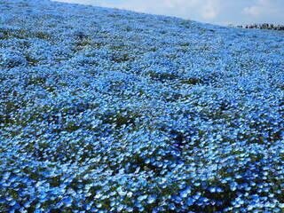 ネモフィラの丘の写真・画像素材[4292586]