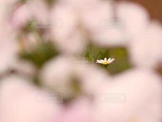 マーガレット一輪の写真・画像素材[4312554]