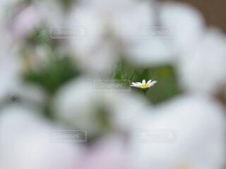 雲の中の一輪のマーガレットの写真・画像素材[4312555]
