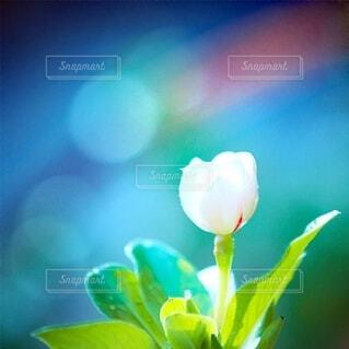青き光の中のにちにちそうの写真・画像素材[4312616]