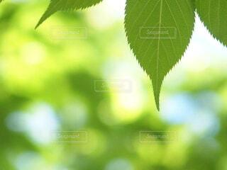 爽やかな新緑の写真・画像素材[4408443]