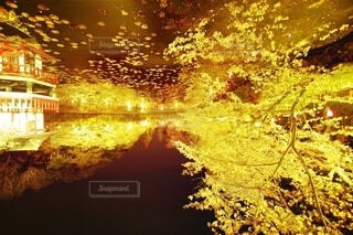 黄金桜の写真・画像素材[4625436]