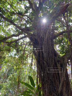 大きな木の写真・画像素材[3154806]
