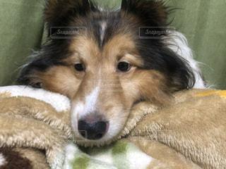シェルティ 犬 動物