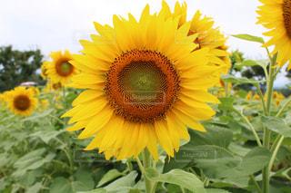 自然,花,夏,花畑,屋外,ひまわり,綺麗,晴れ,黄色,草,夏休み,草木